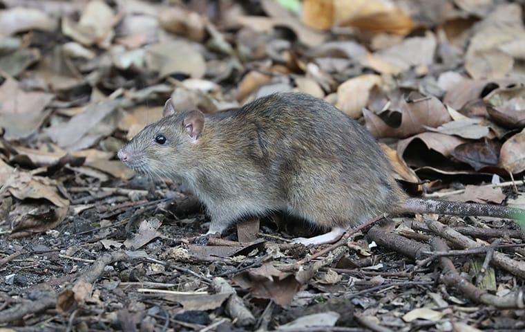 a rodent looking for shelter from the up coming winter in the raleigh  north carolina area