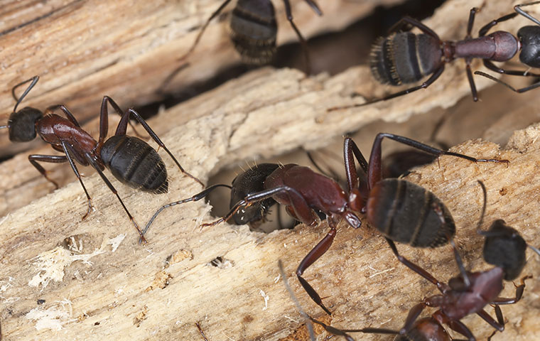 many carpenter ants on damaged wood in raleigh north carolina