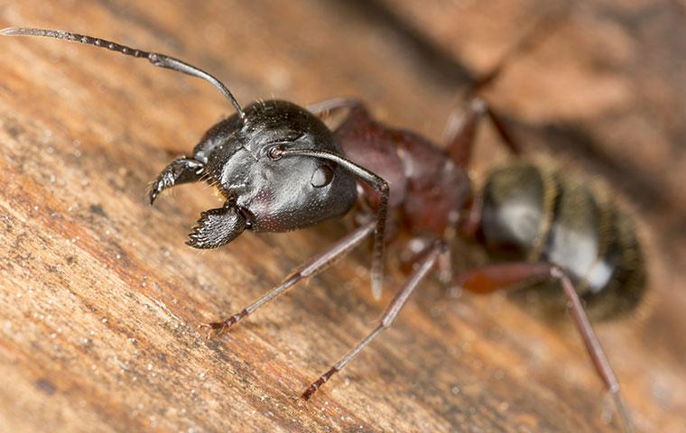 a carpenter ant inside a home in rocky mount north carolina