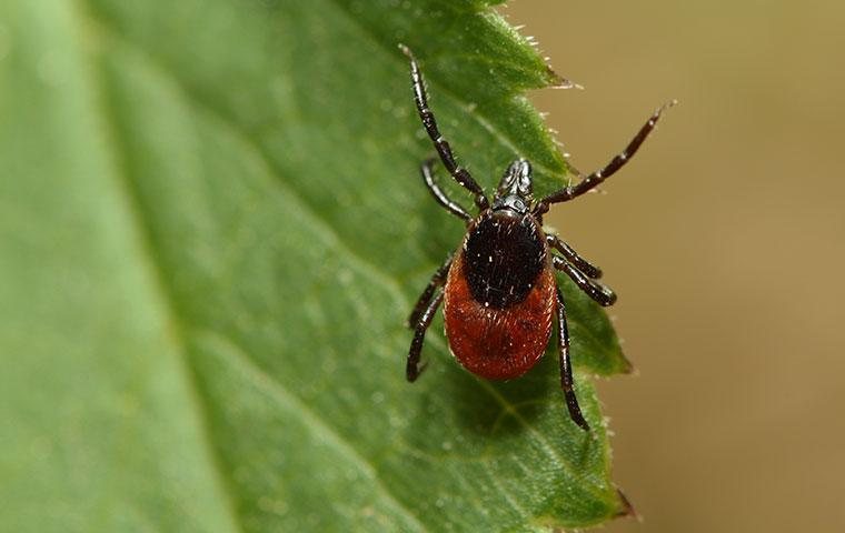 a tick crawling on a leaf in edenton north carolina