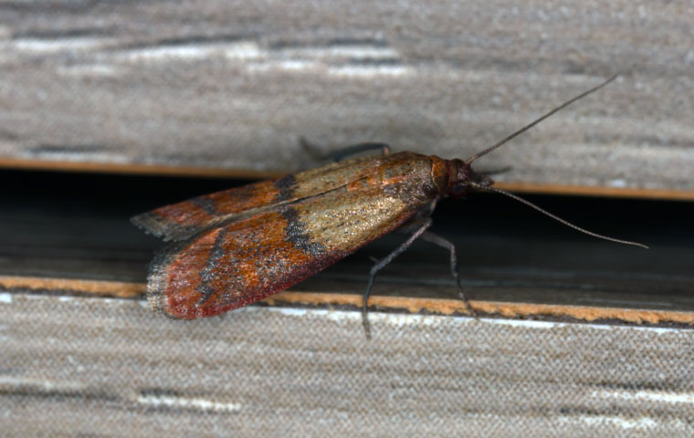 an indian meal moth on a wall in a home in chapel hill north carolina