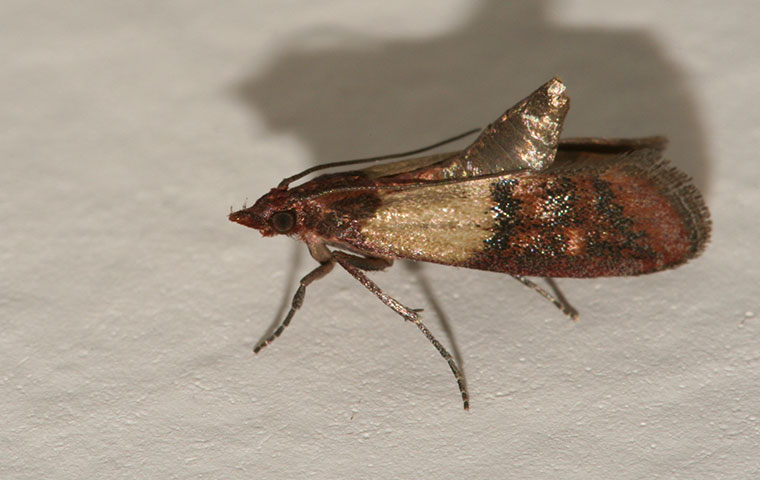 an indian meal moth inside a kitchen in henderson north carolina