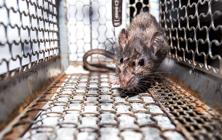 a rat in a cage in smithfield north carolina