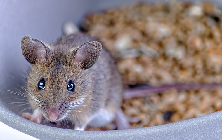 a rat in a bowl of cereal in a home in goldsboro north carolina