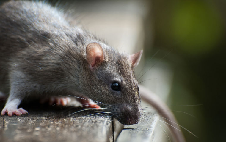 a rat on a doorstep at a home in farmville north carolina