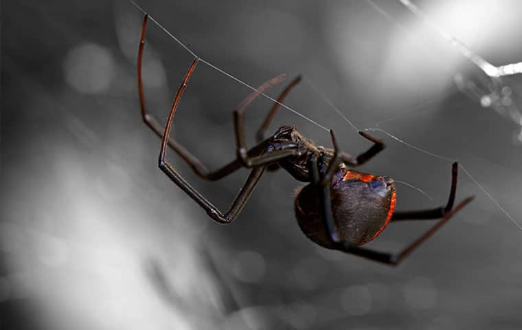 a black widow hanging from a web in an edenton north carolina home