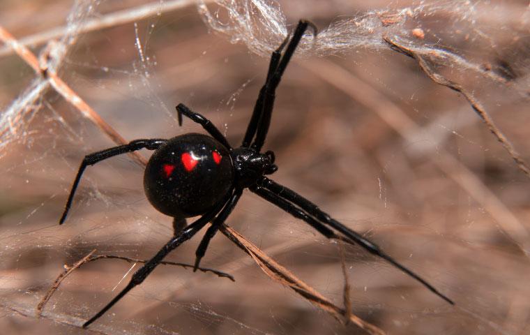 a black widow spider on a web in la grange north carolina