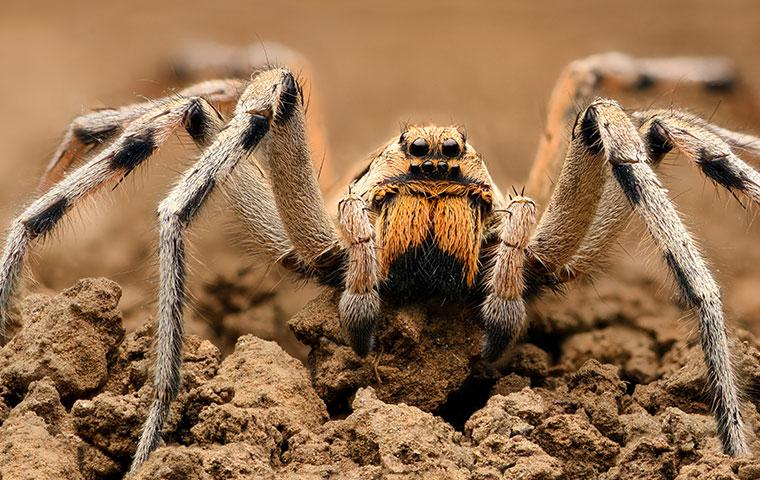 a wolf spider outside a home in smithfield north carolina