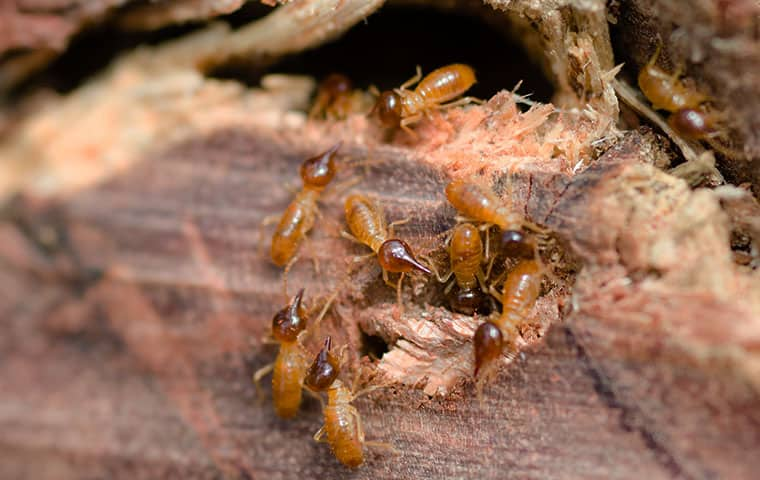 a termite infestation inside of a raleigh north carolina home