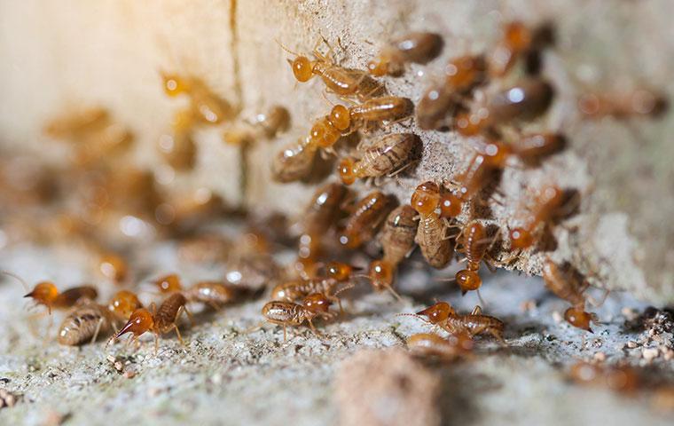 a termite colony infesting a home in oxford north carolina