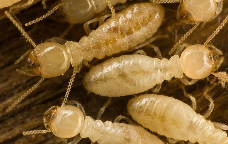 termites crawling on ruined wood in red oak north carolina