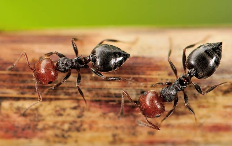 two acrobat ants on a fence near boca raton florida