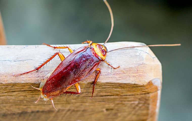 an american cockroach on a wooden chair in a boca raton florida home