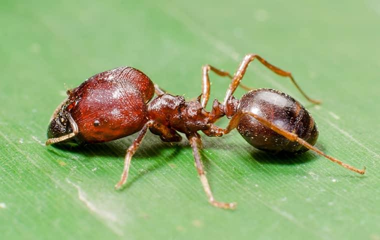 a big headed ant on a leaf in a boca raton florida garden