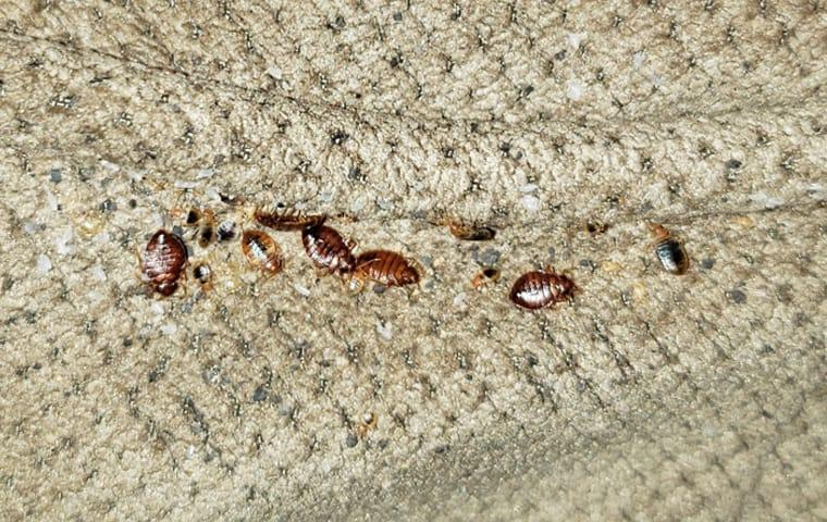 a very large cluster of bed bugs infesting the crevices of a couch in a southern forida home