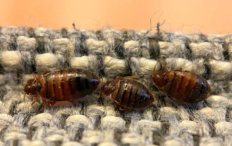 bed bugs crawling on upholstery