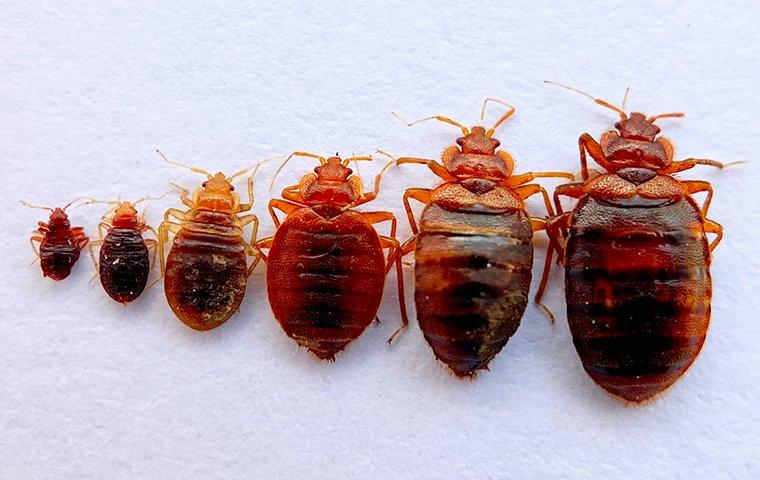 several different sized bed bugs