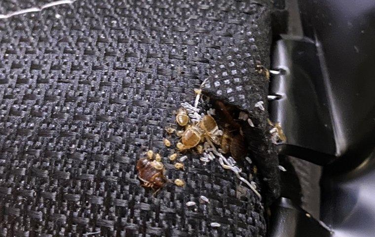bed bug in car