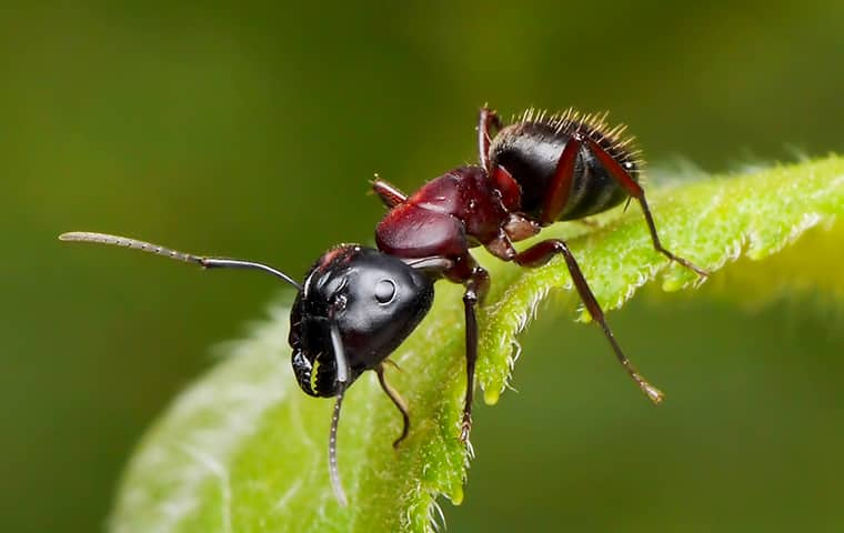 a carpenter ant crawling on a leaf outside a boca raton florida home