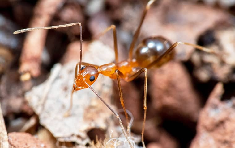 a crazy ant crawling in mulch outside a home in boca raton florida