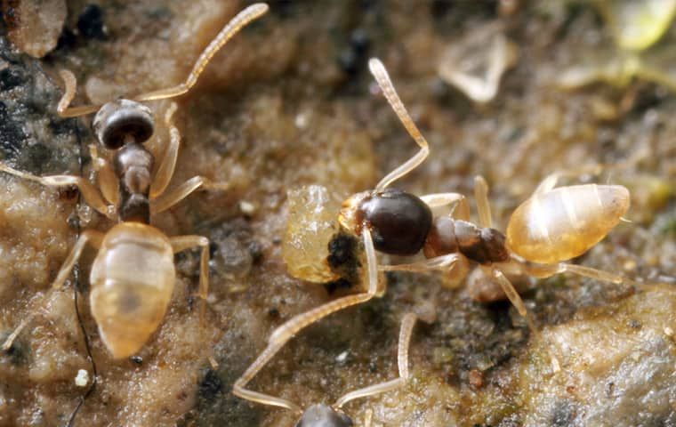 two ghost ants outside of a home in boynton beach florida