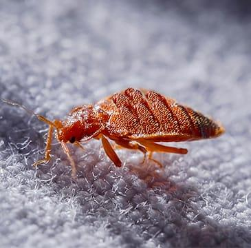 a bed bug crawling on a pillowcase inside of a home in boca raton florida