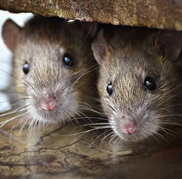 two rats hiding inside of a home in boca raton florida