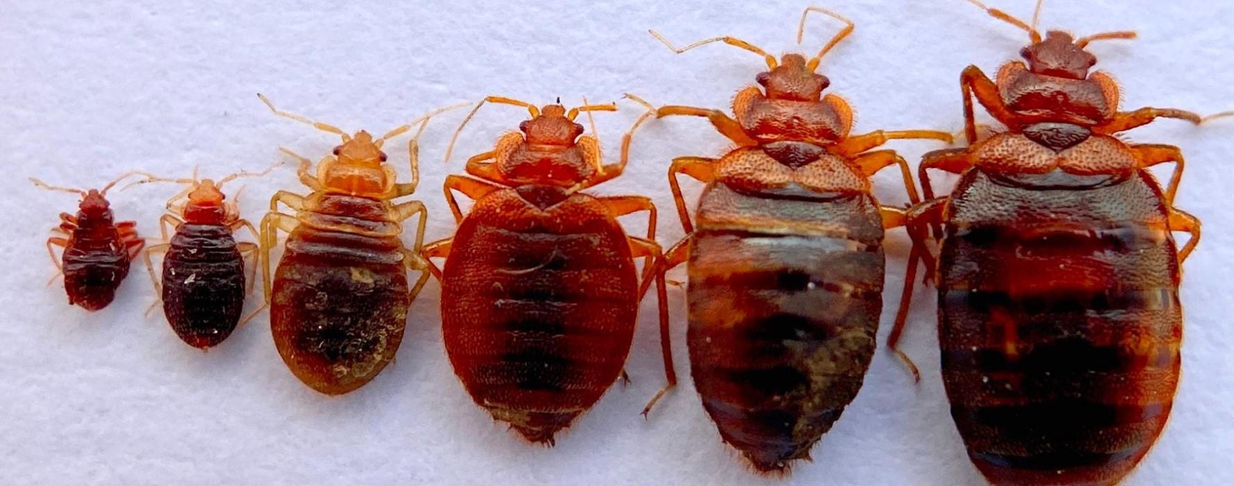 close up of bedbugs in a row