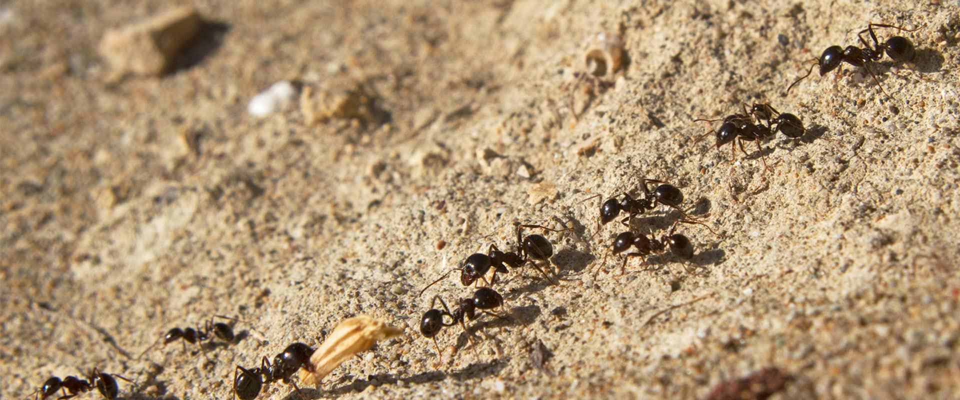 a trail of ants crawling outside of a home in boca raton florida