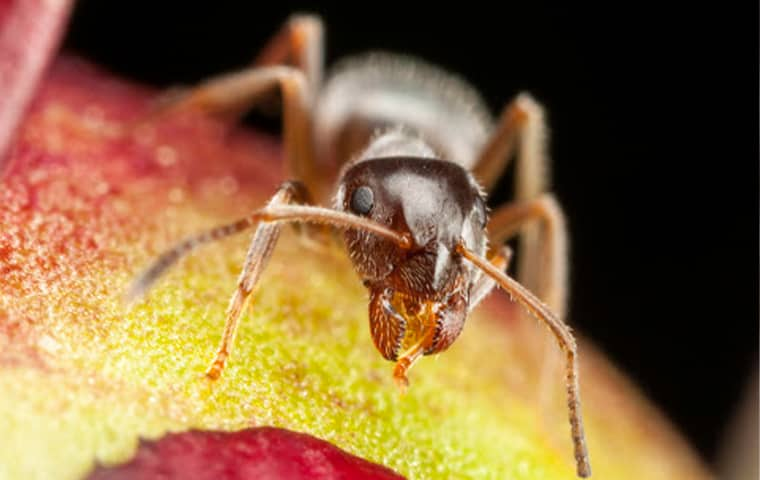 a pharaoh ant on food in a kitchen in fort lauderdale florida