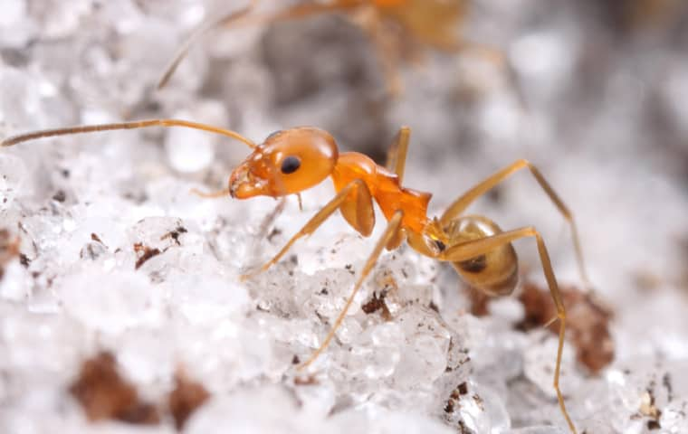 a pyramid ant walking in sand outside of a home in pompano beach florida