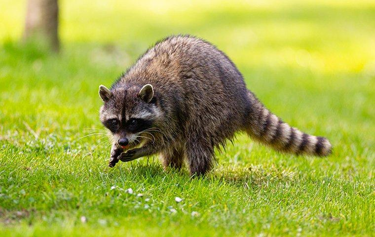 a raccoon in the grass