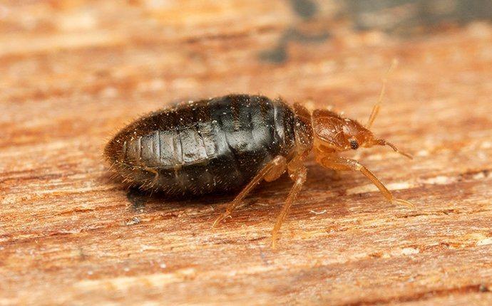 bed bug crawling on wood