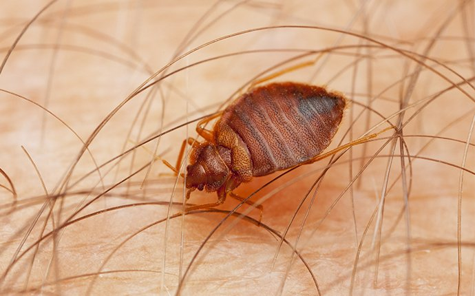 a bed bug in california