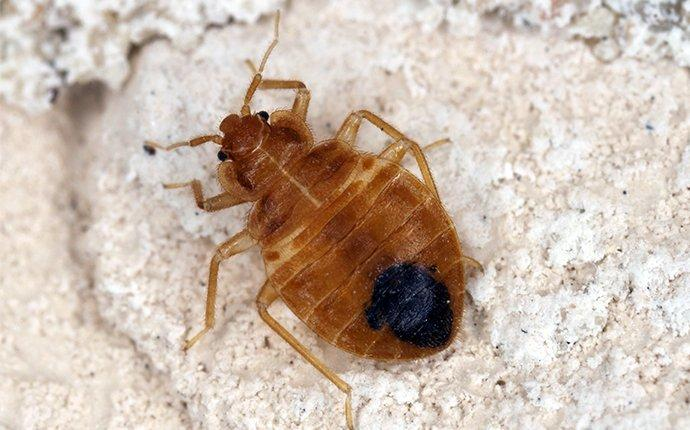 bed bug in house