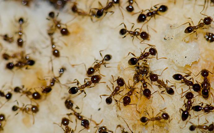 a cluster of argentine ants eating cake