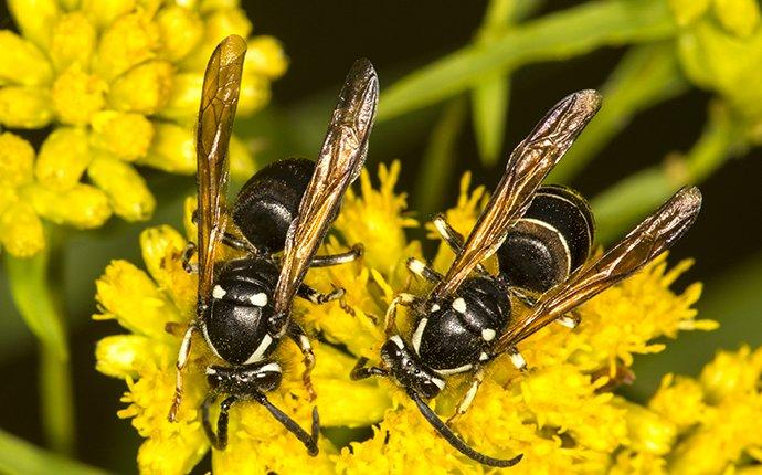 bald faced hornets on yellow flowers