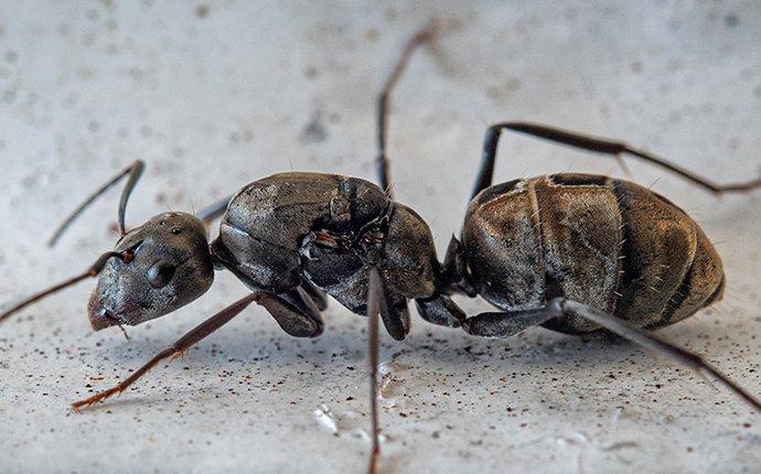 a carpenter ant crawling through a kitchen