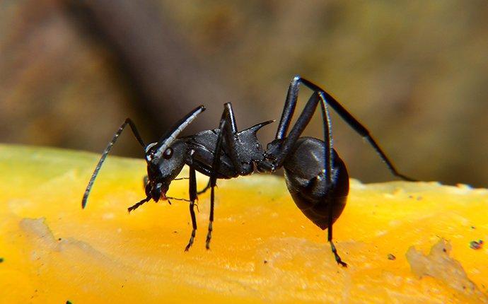 a carpenter ant on fruit