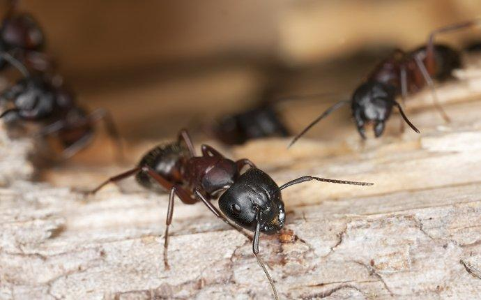 carpenter ants crawling and chewing wood