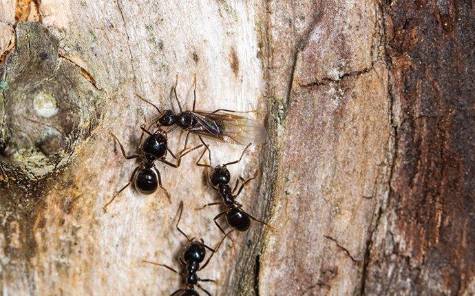 carpenter ants on a log