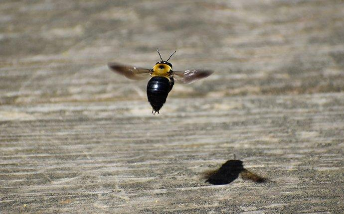 carpenter bees flying over a table
