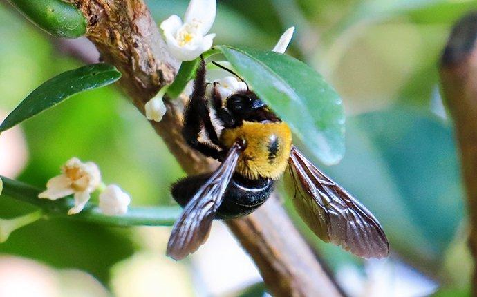 a carpenter bee landing on flowers