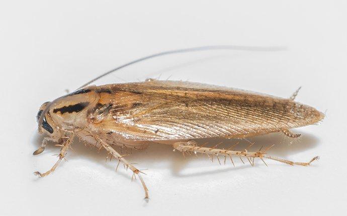 a german cockroach in a bathroom tub