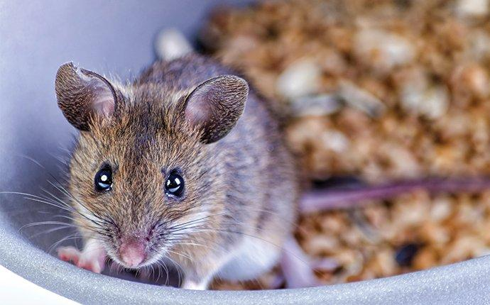 a house mouse up close in a cereal bowl