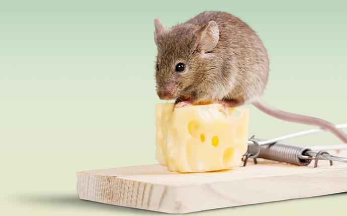 mouse and piece of cheese on mousetrap