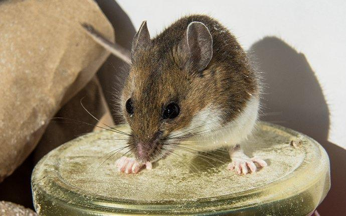 a hosue mouse infesting a kitchen