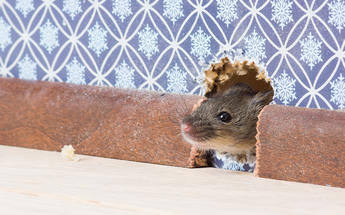 mouse peeking head through hole in house