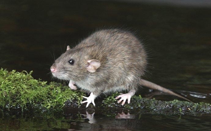 a rat crawling on moss