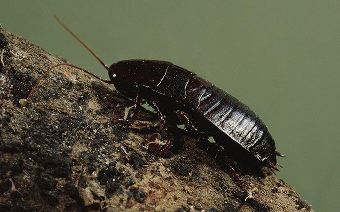 oriental cockroach outside a home